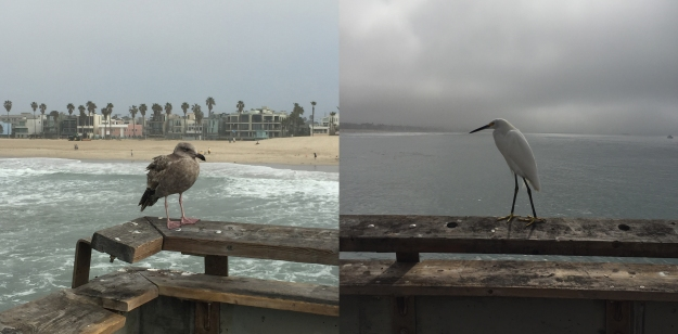 Birds of Venice Beach